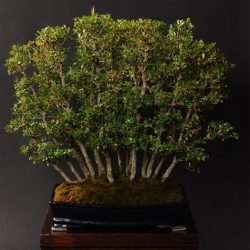 Buxus sempervirens Bonsai