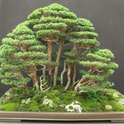 Japanese Cedar Cryptomeria