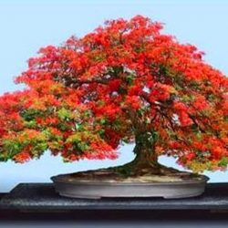 Royal Poinciana Delonix