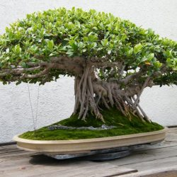 Indian Banyan Ficus