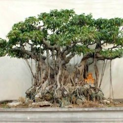 Weeping Fig Ficus