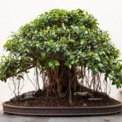 Small Leaved Fig Ficus