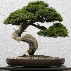 Common Juniper Juniperus