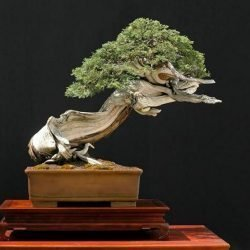 Rocky Mountain Juniper Juniperus