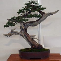 Easter Red Cedar Juniperus