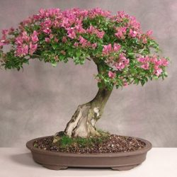 Crepe Myrtle Lagerstroemia