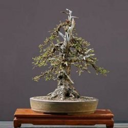European Larch Larix