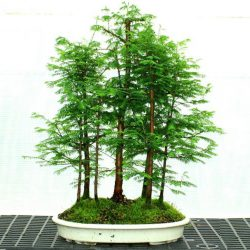 Dawn Redwood Metasequoia