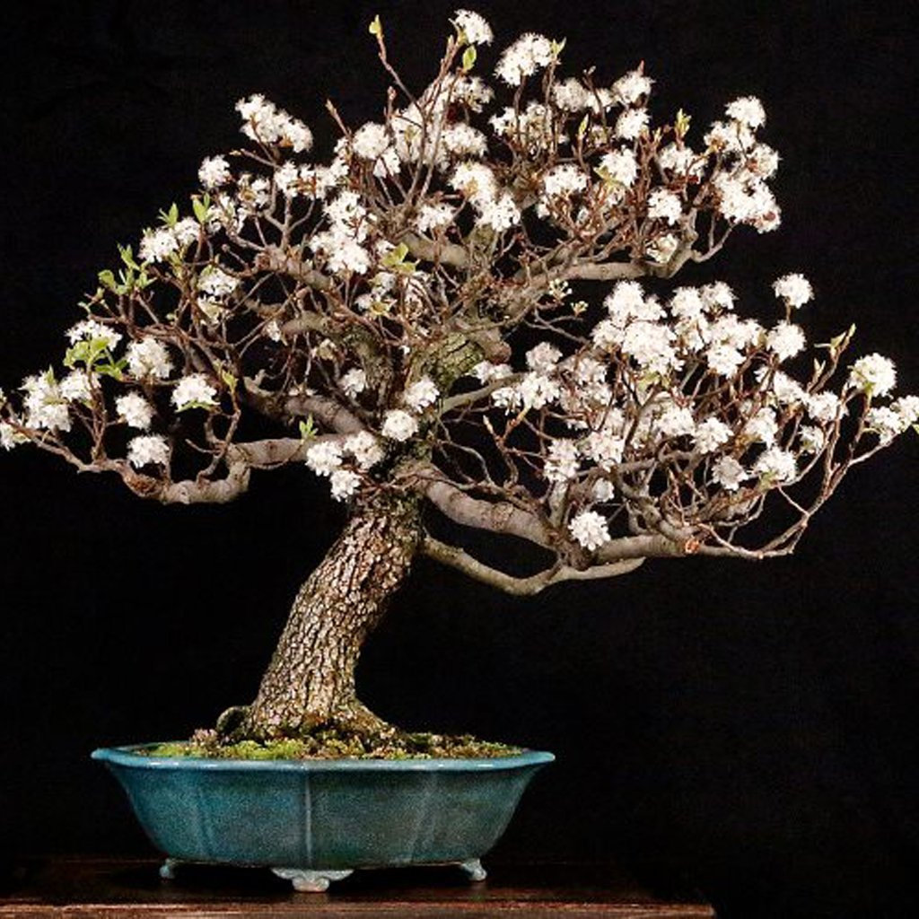 Callery Pear Pyrus