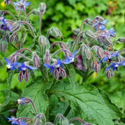 Borage - Borago officials.