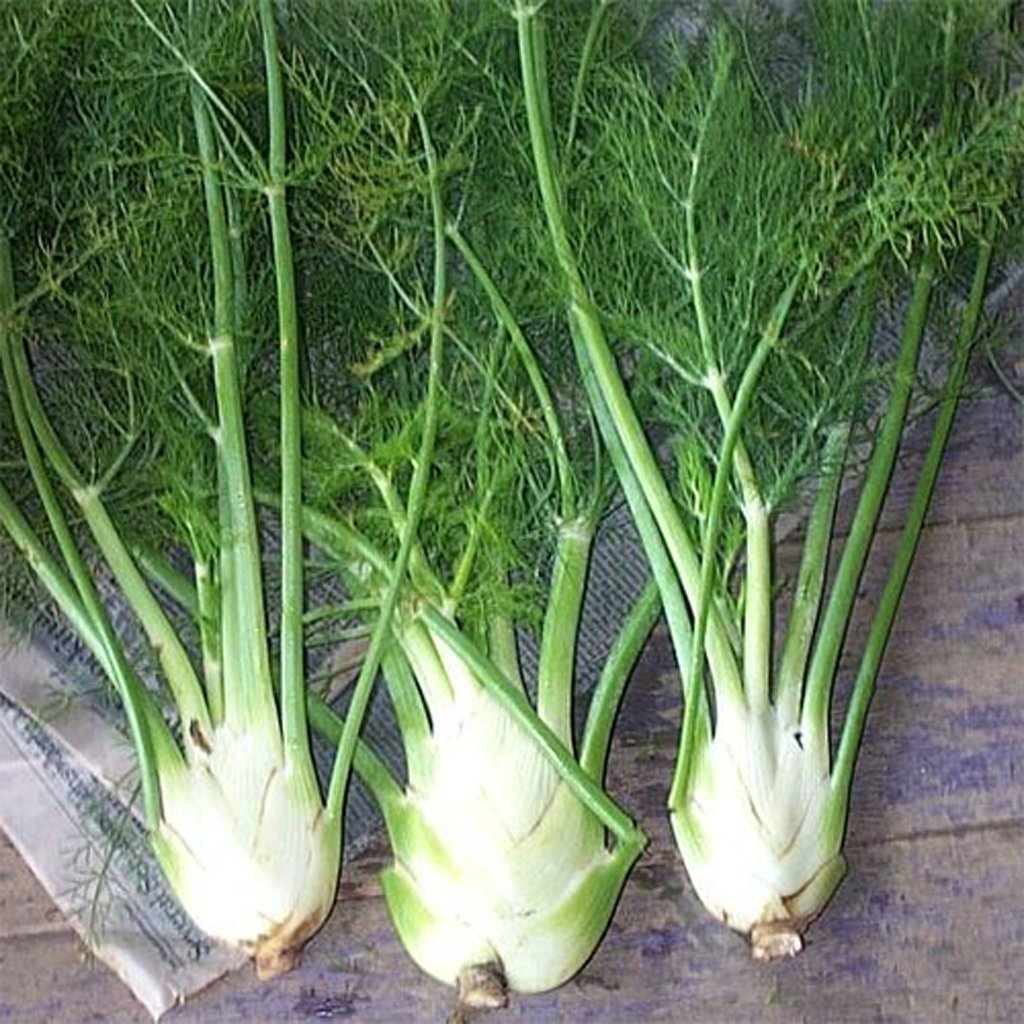 Fennel - Florence
