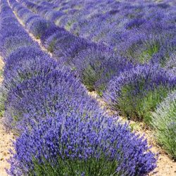Lavender - True English