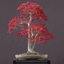 Red Leaf Japanese Maple - Acer palmatum atropurpureum