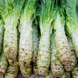 CELTUCE - Common - Lactuca sativa var asparagine