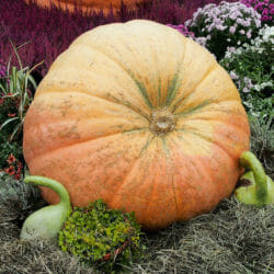 PUMPKIN - Atlantic Giant - Cucurbita maxima