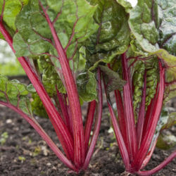 SILVERBEET - Ruby Red - Beta vulgaris var. cicla