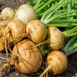 TURNIP - Golden Glove - Brassica rapa