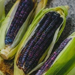 CORN/MAIZE - Blue Hopi - Zea mays