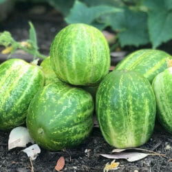 CUCUMBER - Richmond Green - Cucumis sativus