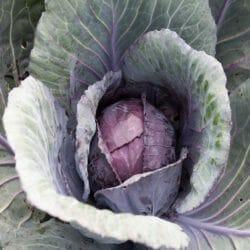 CABBAGE - Red Express - Brassica oleracea