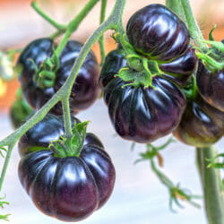TOMATO - Black Beauty - Lycopersicon esculentum