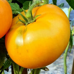TOMATO - Blazing Beauty - Lycopersicon esculentum