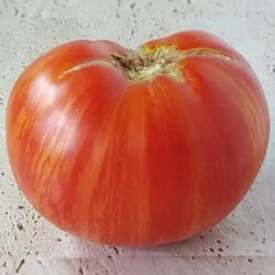 TOMATO - Beauty King - Lycopersicon esculentum