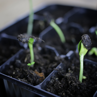 How to Succession Plant in Summer