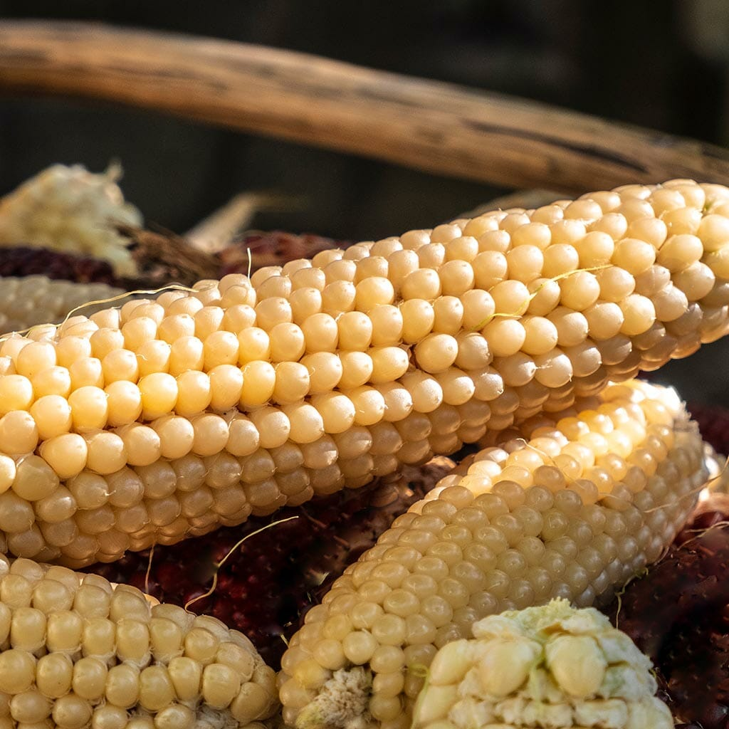 POPPING CORN - Amish Butter - Zea mays