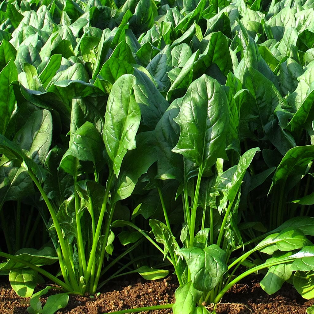 SPINACH - Giant Noble - Spinacia oleracea