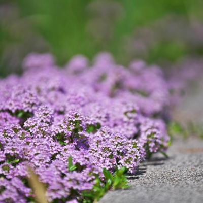Thyme Lawn - Everything You Need To Know - Heirloom Seeds Australia - Seeds Of Plenty